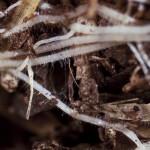 Periwinkle Root Detail