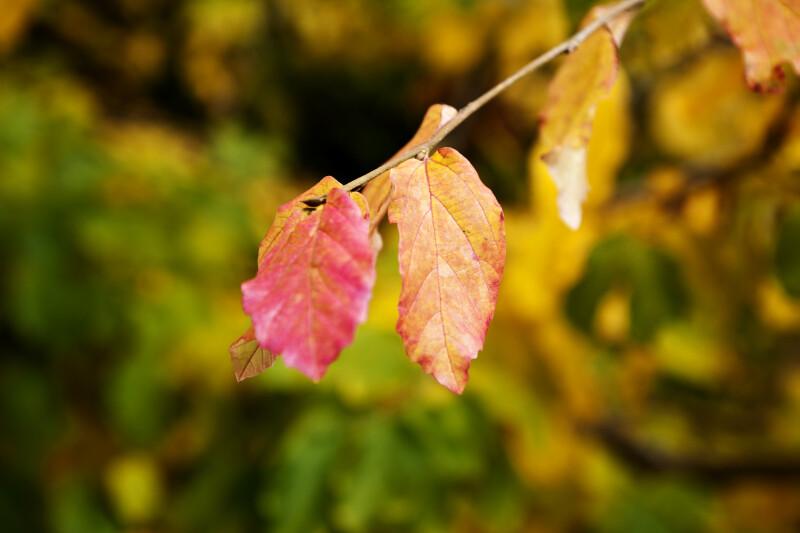 Persian Parrotia Leaves