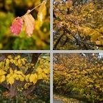 Persian Parrotia Trees photographs