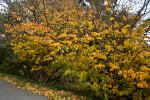 Persian Parrotia Trees