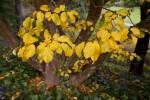 Persian Parrotia Yellow Leaves