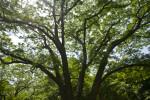 Phellodendron lavallei
