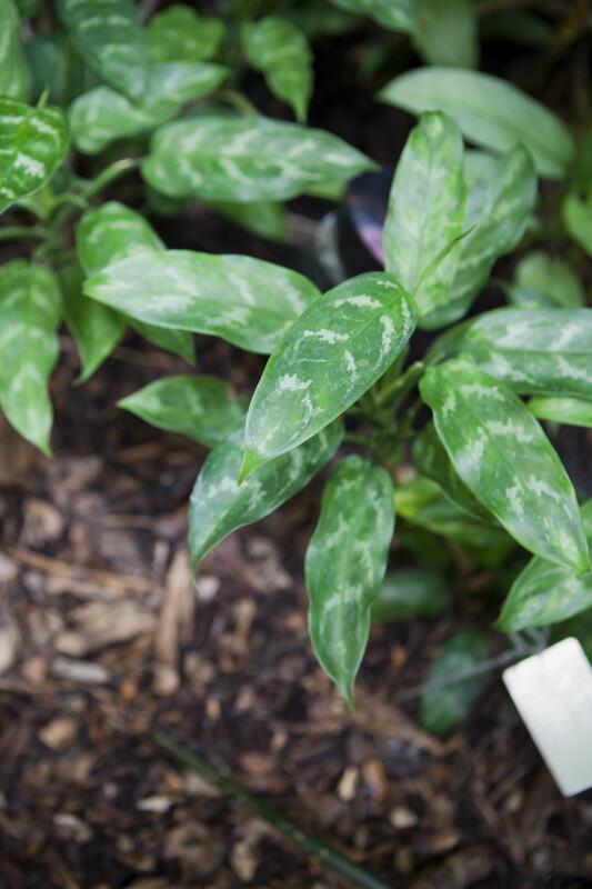 Philippine Evergreen Leaf