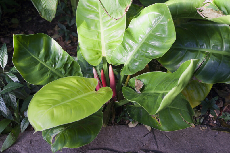 "Philodendron ""Moonlight"""