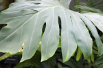 Philodendron pinnatifidum Close-Up