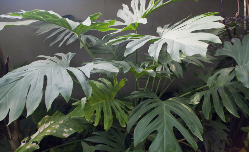 Philodendron pinnatifidum