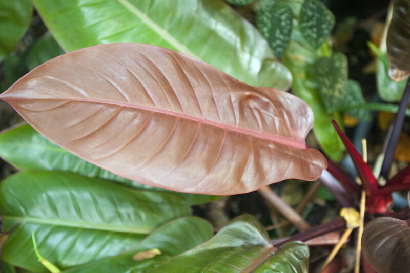 """Philodendron """"Prince of Orange"""""""
