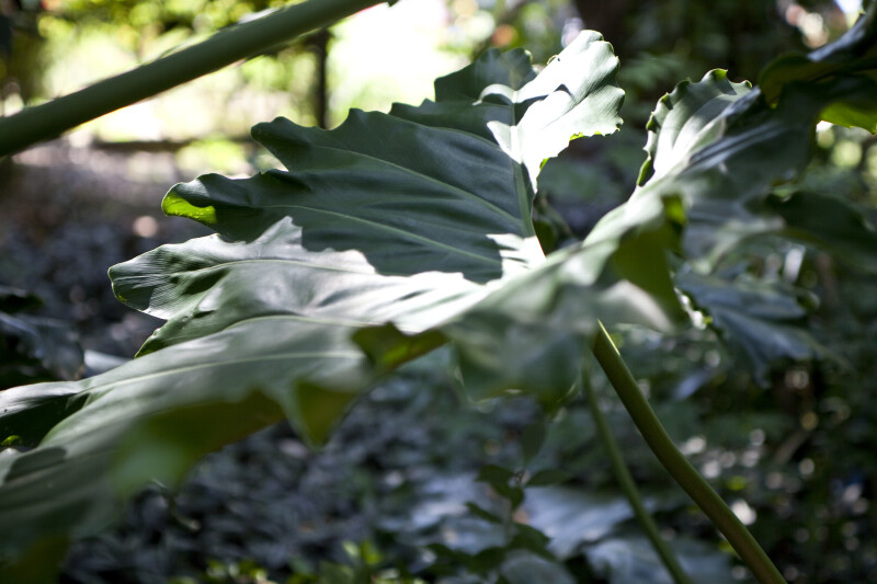 Philodendron x Evansii Leaf