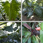 Philodendrons photographs