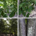 Photinia Trees photographs
