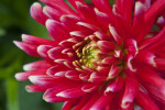 """Pianella"" Hybrid Dahlia Flower Close-up"