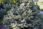 Picea pungens 'Dove'