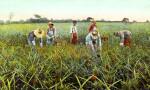 Picking Pineapples in Florida
