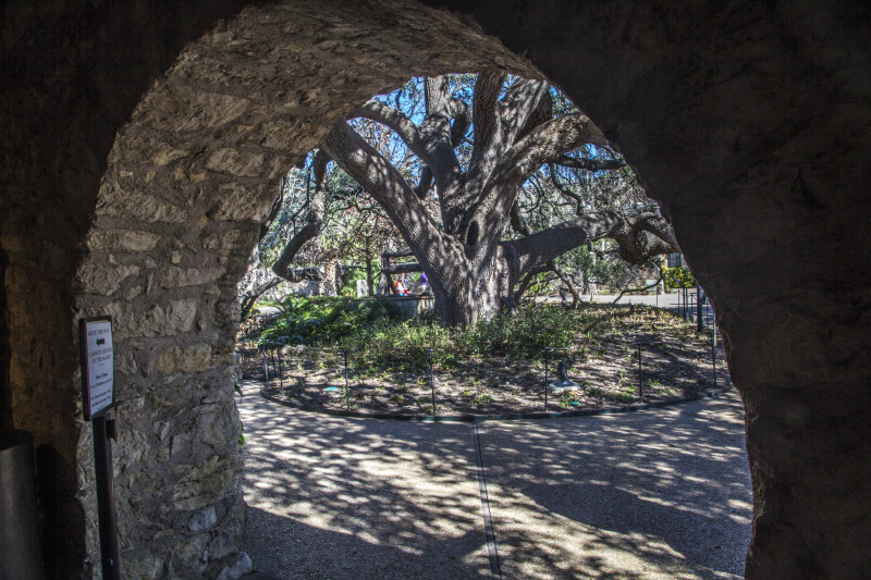Picture of the Live Oak at the Alamo