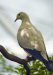 Pied Imperial Pigeon on Branch