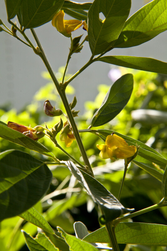 Pigeon Pea Stems, Leaves, and Flowers