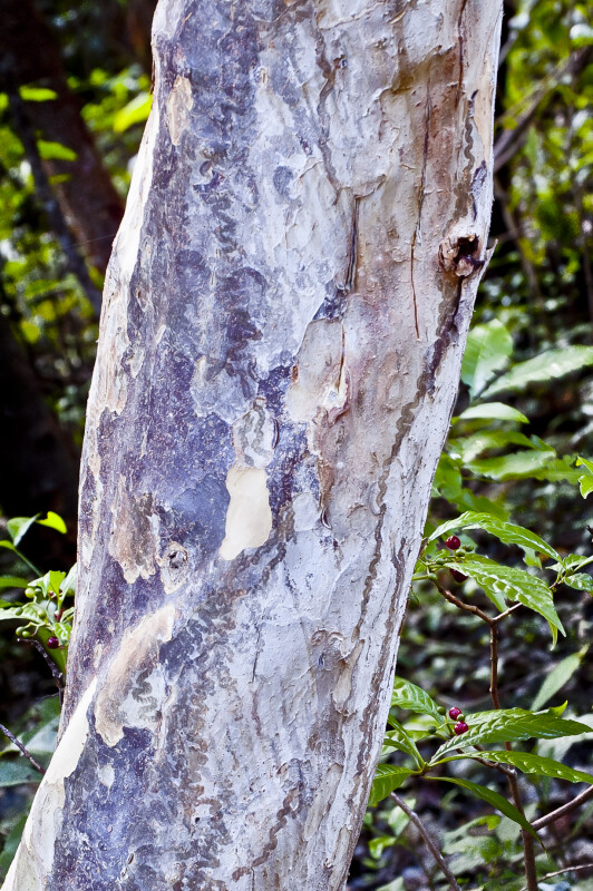 Pigeon Plum (Coccoloba diversifolia) Smooth Bark