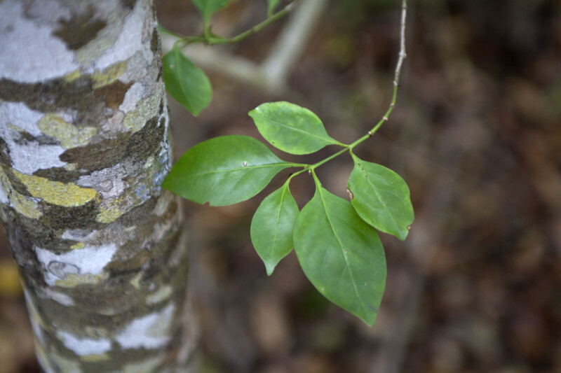 Pigeon Plum Leaves Next to its Trunk