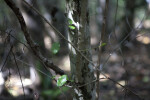 Pigeon Plum Trunk and Branches
