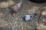 Pigeons on Sidewalk