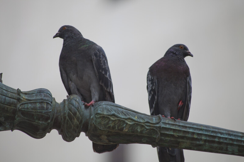 Pigeons Perched on Ornate Metalwork