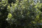 Pignut Hickory Branch