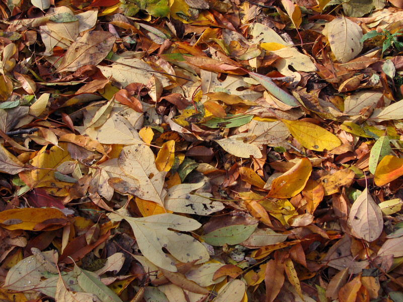 Pile of Brown and Yellow Autumn Leaves
