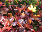 Pile of Red and Yellow Autumn Leaves