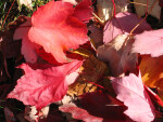 Pile of Red Autumn Leaves