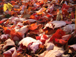 Pile of Red Fall Leaves