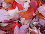 Pile of Red Leaves