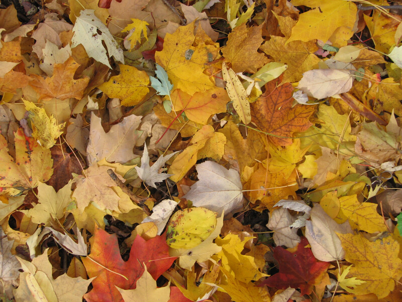 Pile of Yellow and Brown Autumn Leaves