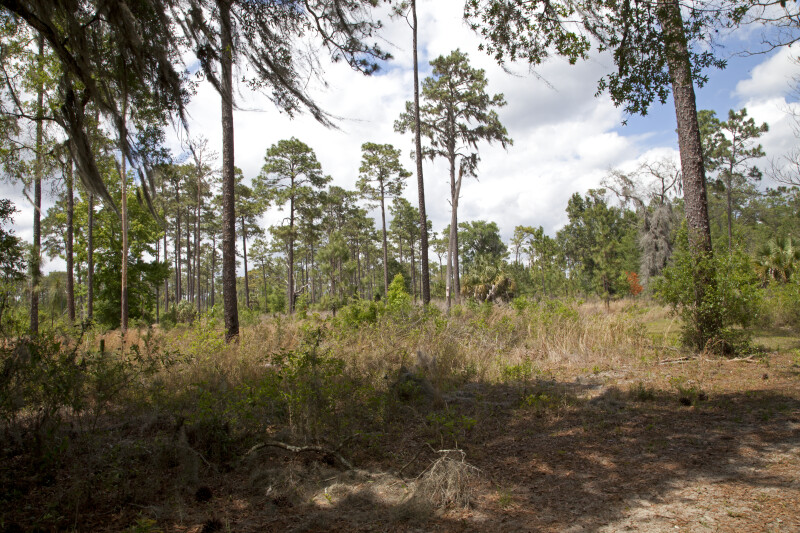 Pine Flatwood at Chinsegut Wildlife and Environmental Area
