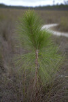 Pine in Grass Stage