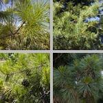 Pine Needles photographs