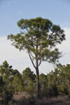 Pine Tree at the Big Cypress National Preserve