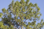 Pine Tree Blowing in the Wind