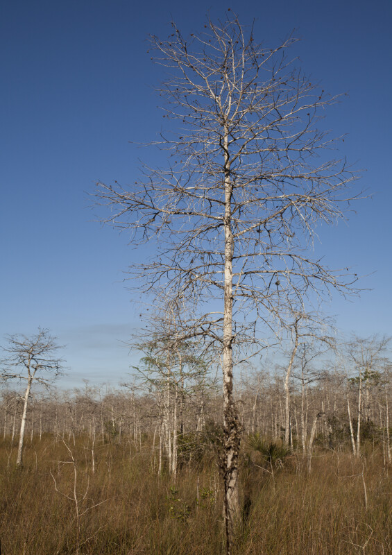 Dwarf Bald Cypress Tree Branches and Blue Sky