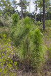 Pine Tree in the Grass Stage at Long Pine Key of Everglades National Park