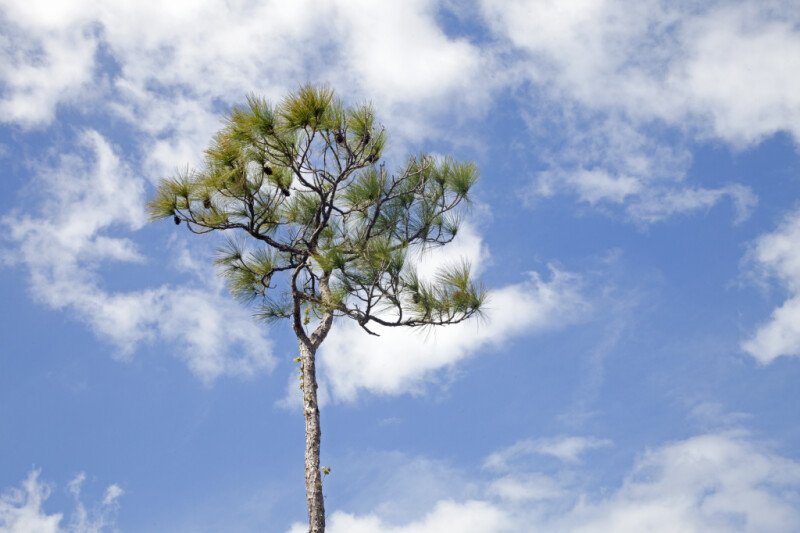 Pine Tree Pictured Against the Sky at Mahogany Hammock of Everglades National Park