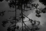 Pine Tree Reflected onto the Surface of Pond Water