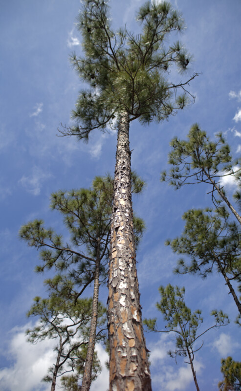 Pine Tree with Long Trunk and Patched Bark