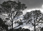 Pine Trees Against a Cloudy Florida Sky