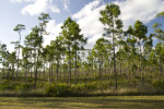 Pine Trees Among Palmettos