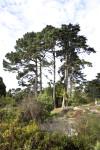 Pine Trees Amongst Shrubs