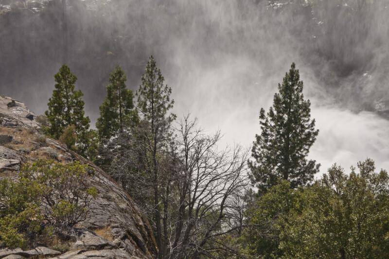 Pine Trees and Manzanita Shrubs in the Mist