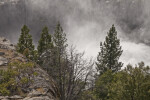 Pine Trees and Manzanita Shrubs in the Mist