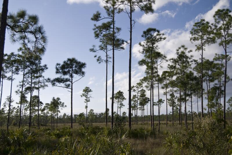 Pine Trees at Long Pine Key