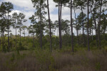Pine Trees Growing Amongst Grass and Shrubs at Long Pine Key of Everglades National Park