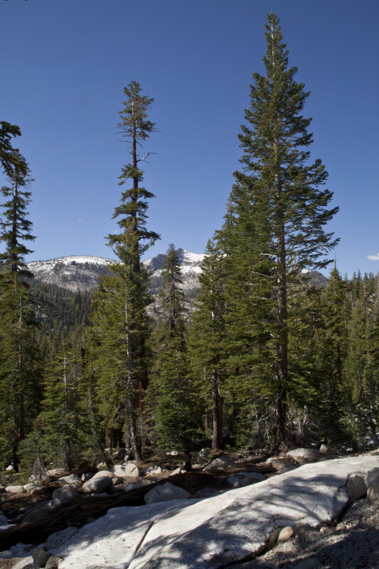 Pine Trees Growing in the Mountains